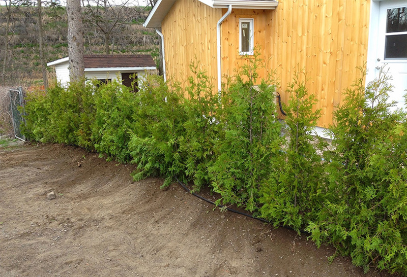 Cultivated White Cedars (Occidentalis) #1 Quality