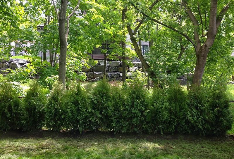Cultivated Black Cedars (Nigra)