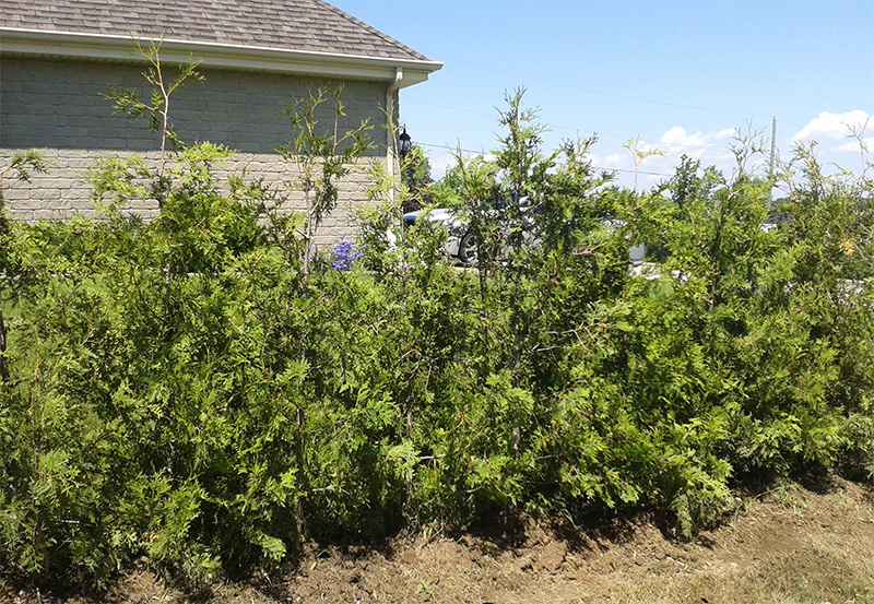 Cultivated White Cedars (Occidentalis) #2 Quality