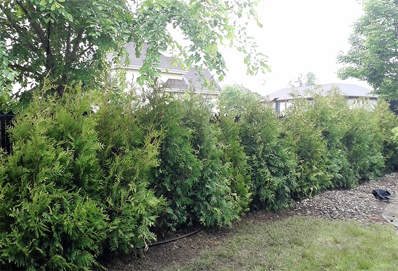 Cultivated White Cedars (Occidentalis) Superior Quality