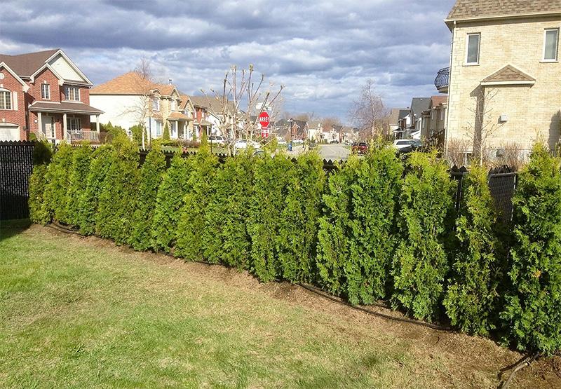 Cultivated White Cedars (Fastigiata)