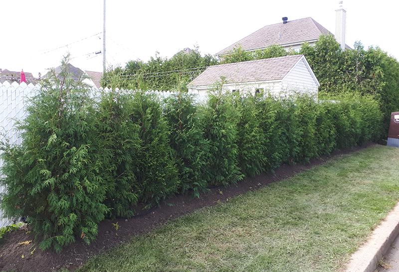 Cultivated Cedar (Titan) Supreme Quality