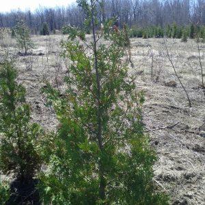 cedres cultivés #2