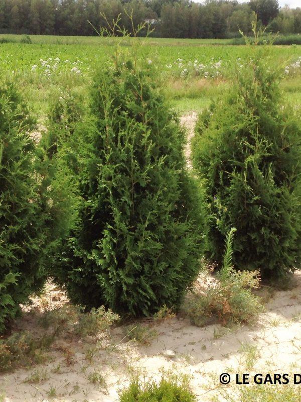 cedar-nigra-superior