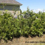 cèdre blanc cultivé #2 2015 (1)