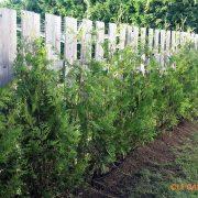 cèdre blanc cultivé #2 2015 (3)